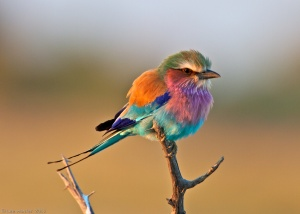 0083_Lilac-Breasted_Roller_at_sunup