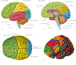 cervello (1)