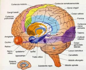 cervello (2)